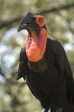 Hornbill a terra del sud Immagini Stock