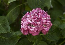Il Hortensia fiorisce sbocciare immagini stock