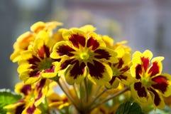 Il hortensis giallo e rosso della primula, primoses, molla in anticipo fiorisce in fioritura fotografia stock libera da diritti