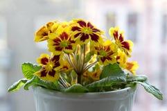 Il hortensis giallo e rosso della primula, primoses, molla in anticipo fiorisce in fioritura fotografie stock libere da diritti