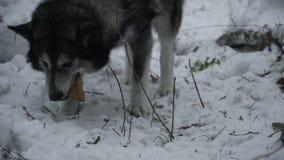 Il husky della razza del cane trova una torta archivi video