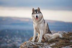 Il husky di Gray Siberian si siede sull'orlo della roccia e guarda giù Immagini Stock