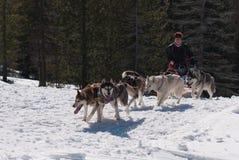 Il husky dogsled sulla traccia Fotografia Stock