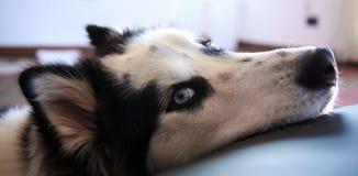 Il husky siberiano aspetta ed osserva immagini stock libere da diritti
