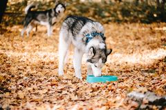 Il husky siberiano beve l'acqua immagine stock libera da diritti
