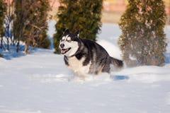 Il husky siberiano conquista i cumuli di neve immagini stock