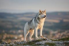 Il husky siberiano grigio magnifico sta su una roccia nelle montagne della Crimea contro il contesto della foresta e delle montag immagini stock