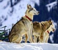 Il husky siberiano insegue il ritratto fotografia stock