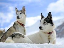 Cane del husky siberiano nella neve immagini stock libere da diritti