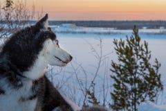 Il husky siberiano osserva indietro il tramonto Cane del husky del ritratto di vista laterale nella penombra di inverno Colore e  immagini stock libere da diritti