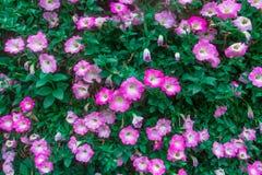Il hybrida della petunia ha vari colori ed i colori luminosi, possono essere usati per tingere Fotografia Stock
