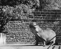 Il hyppo dello zoo Fotografia Stock Libera da Diritti