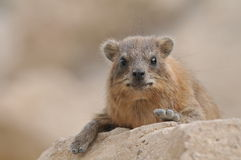Il Hyrax di roccia Fotografia Stock Libera da Diritti