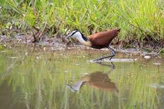 Il jacana di Frican arranca sulle piante acquatiche che inseguono i piccoli insetti Fotografie Stock