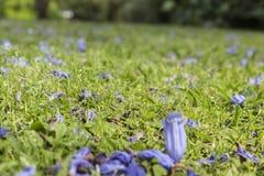 Il Jacaranda fiorisce la pittura la porpora della città Fotografia Stock