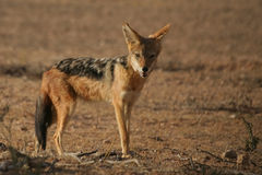 Il jackal fotografia stock libera da diritti