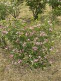 Il jalapa del mirabilis è un genere delle angiosperme nella nyctaginaceae della famiglia immagini stock