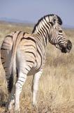 Il Kenya: Una zebra dalla parte posteriore nel parco nazionale di Samburu fotografie stock
