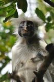 Il kirkii rosso di Procolobus del colobus di Zanzibar Fotografia Stock Libera da Diritti