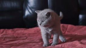 Il kittie diritto scozzese più cutiest ed allegro riposa su un letto alla macchina fotografica stock footage