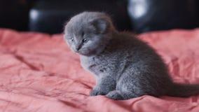 Il kittie diritto scozzese più cutiest ed allegro riposa su un letto alla macchina fotografica video d archivio