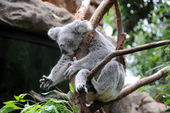 Il Koala dorme in un albero di eucalyptus Immagini Stock