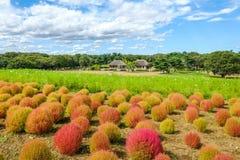 Il Kochia sistema con il bello cielo al parco di spiaggia di Hitachi, Giappone Immagini Stock Libere da Diritti