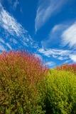 Il Kochia sistema con il bello cielo al parco di spiaggia di Hitachi, Giappone Fotografia Stock