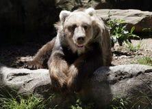 il kodiak dell'orso riposa il sole Immagini Stock Libere da Diritti
