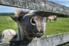 Il Konik un allevamento di cavalli selvaggii in Polonia Fotografia Stock