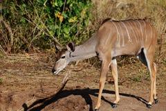 Il kudu femminile con le orecchie trasmette la camminata, un piede nella parte anteriore ed una gamba posteriore leggermente fuor immagine stock