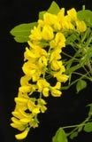 Il Laburnum fiorisce il primo piano. Immagine Stock