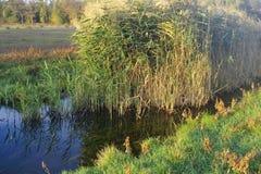 Il lago è invaso con le giovani canne che queste grandi erbacce a volte sono chiamate giunchi Giorno pieno di sole fotografia stock
