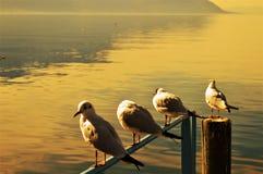 Il lago Lemano, la Svizzera ed uccelli al tramonto Immagine Stock