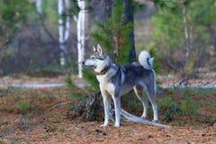 Il laika siberiano ad ovest contro gli alberi Fotografia Stock