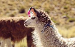 Il lama: animale nazionale della Bolivia immagine stock