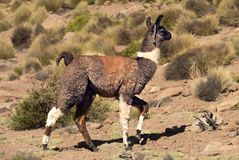 Il lama: animale nazionale della Bolivia fotografia stock