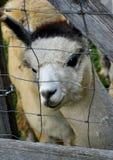 Il lama dell'alpaga Immagini Stock Libere da Diritti