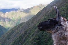 Il lama e le Ande peru Nessuna gente Fotografia Stock Libera da Diritti