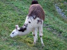 Il lama glama del lama o lama di Das, Abenteurland Walter Zoo immagine stock libera da diritti