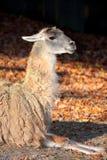 Il lama (glama della lama) Fotografie Stock Libere da Diritti