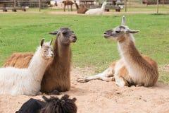 Il lama si rilassa nel giorno soleggiato di primavera Fotografie Stock Libere da Diritti