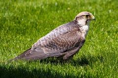 Il lanario, biarmicus di Falco in un parco naturale tedesco fotografia stock