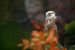 Il lanario, rapace rara con l'arancia lascia il ramo nella foresta di autunno, Spagna Scena della fauna selvatica dalla natura Au Immagine Stock Libera da Diritti