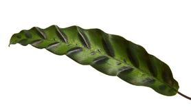 Il lancifolia di Calathea o fogliame di insignis di Calathea, foglie verdi con i punti decorativi scuri e parte di sotto della fo fotografia stock