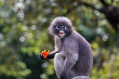 Il Langur o la scimmia oscura della foglia è residenti in Tailandia (obscurus di Trachypithecus) Immagine Stock