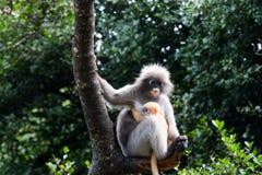 Il Langur o la scimmia oscura della foglia è residenti in Tailandia (obscurus di Trachypithecus) Immagine Stock Libera da Diritti