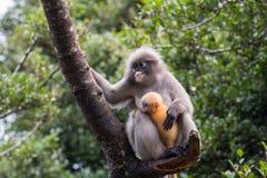 Il Langur o la scimmia oscura della foglia è residenti in Tailandia (obscurus di Trachypithecus) Fotografia Stock Libera da Diritti