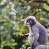 Il Langur o la scimmia oscura della foglia è residenti in Tailandia (obscurus di Trachypithecus) Immagini Stock Libere da Diritti