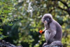 Il Langur o la scimmia oscura della foglia è residenti in Tailandia (obscurus di Trachypithecus) Fotografia Stock